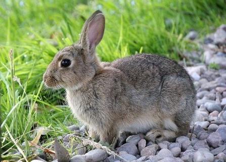 Crestere iepuri