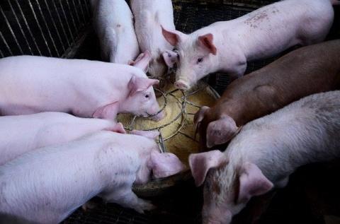 Crestere Porci